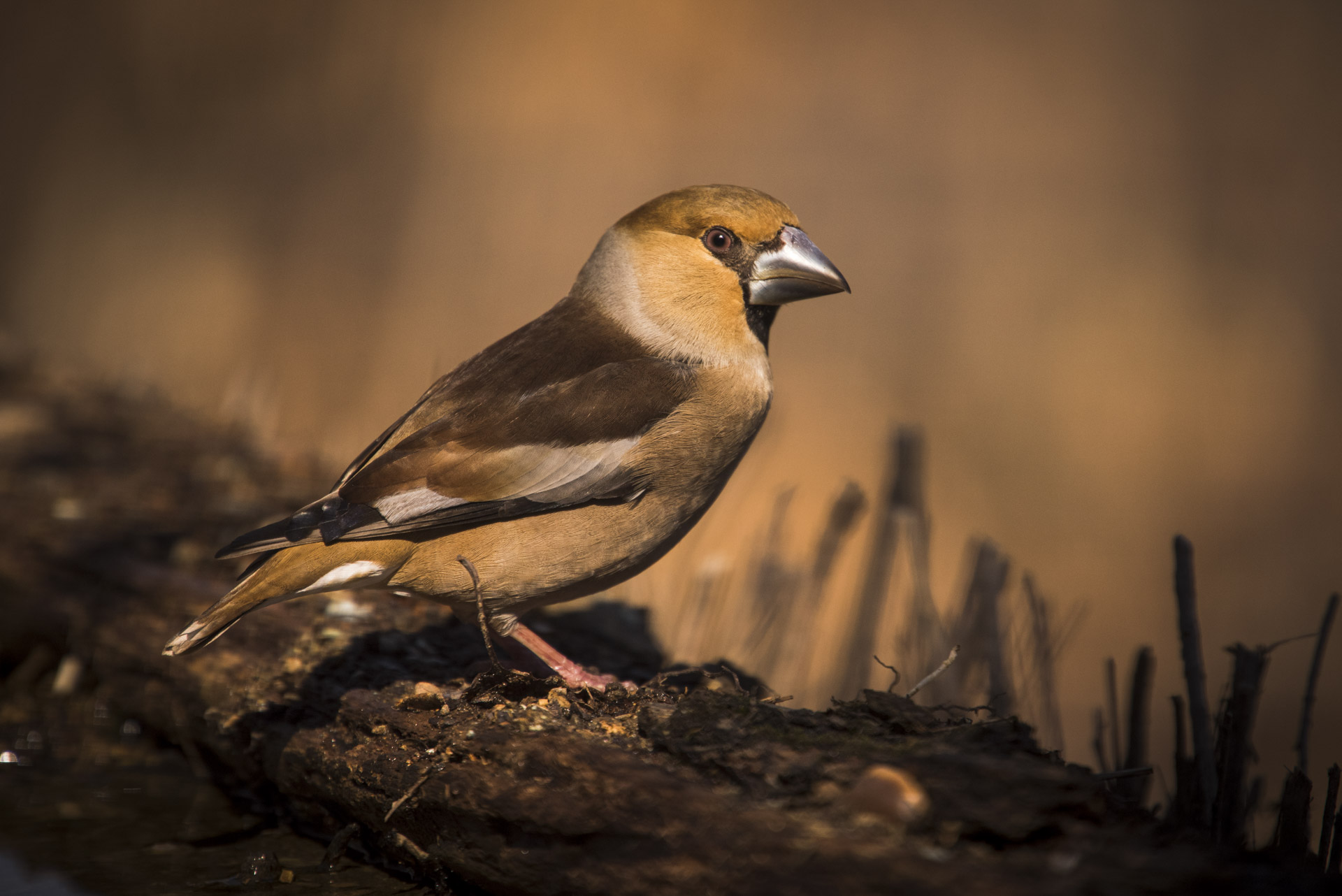Hawfinch- Coccothraustes coccothraustes