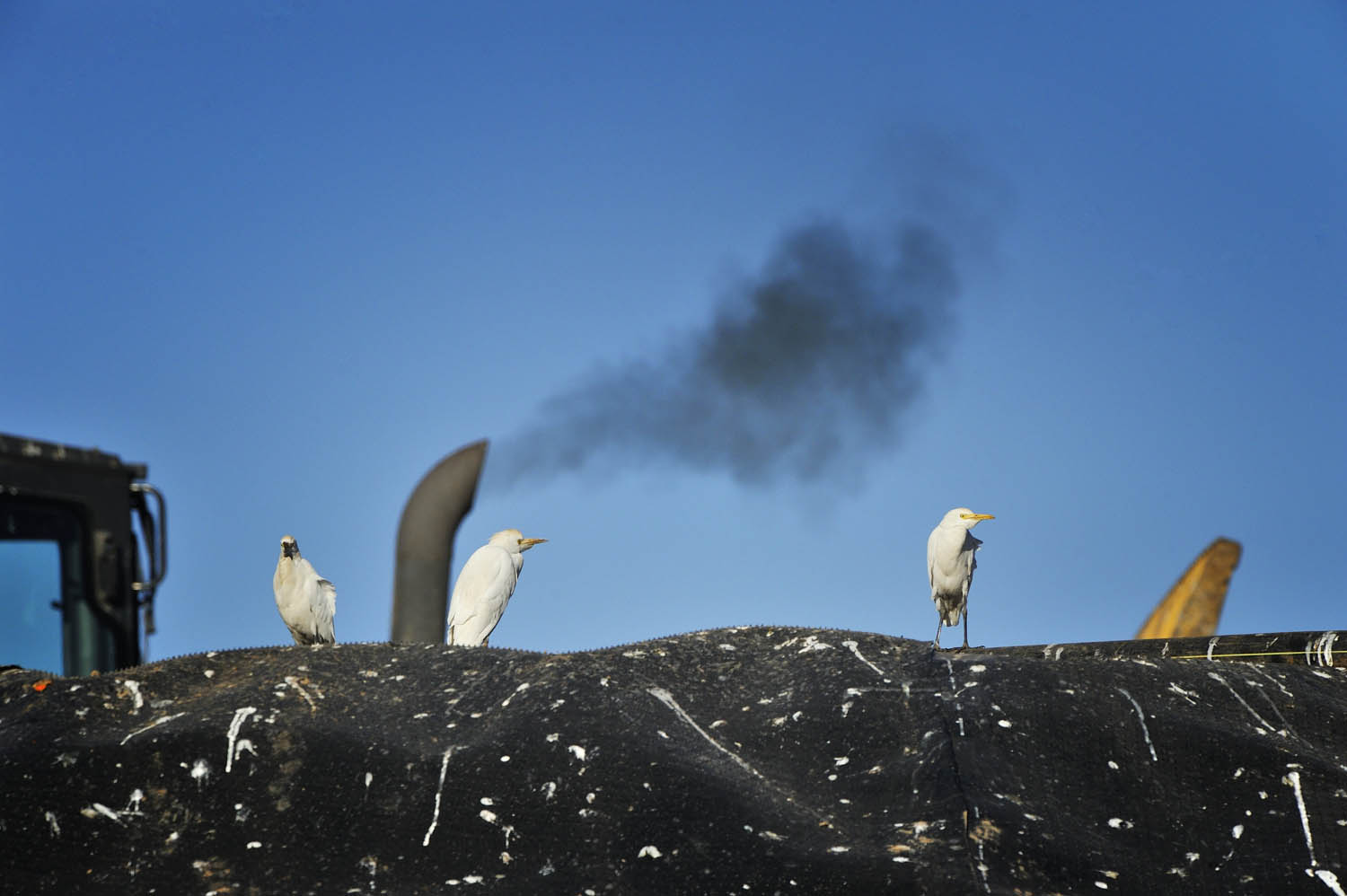 Cattle egrets and pollution