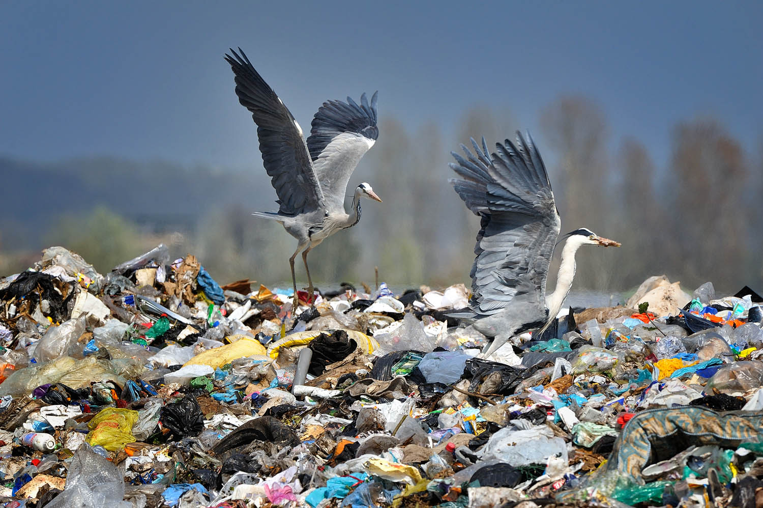 Herons fight