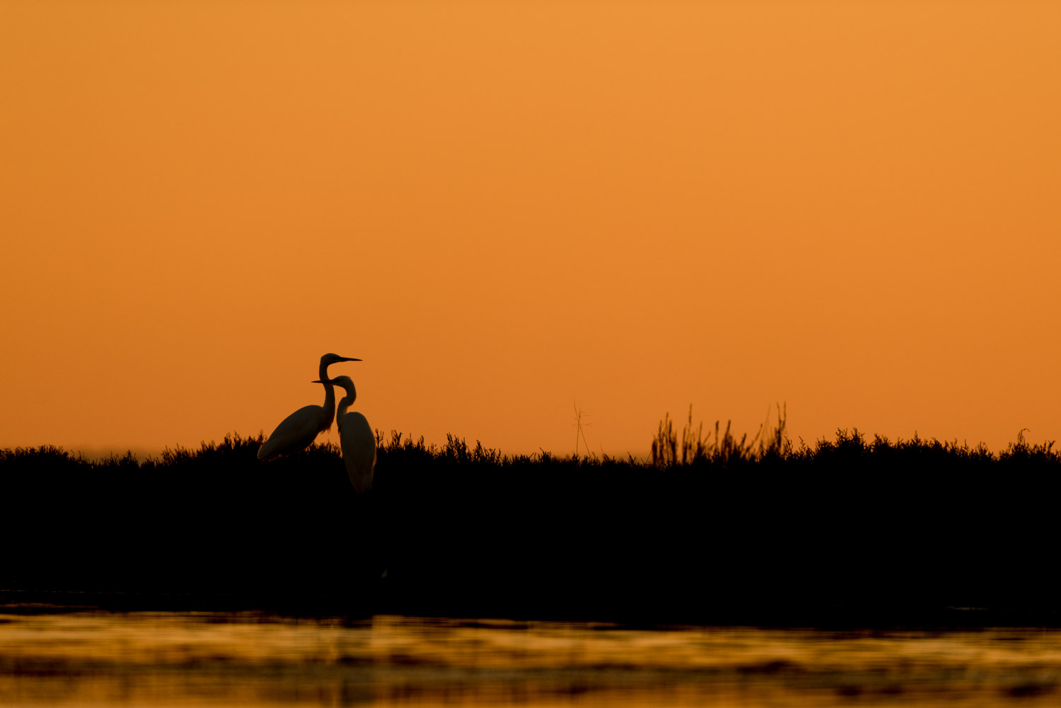 Great egrets at sunset